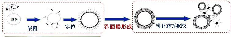 乳化交界面蛋白膜形成机制