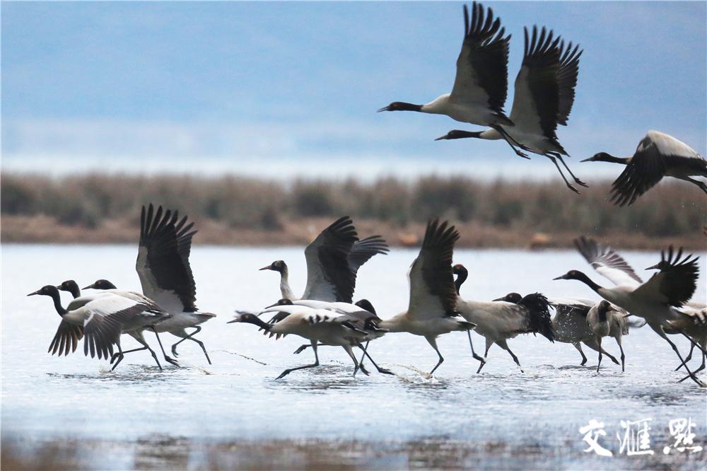贵州草海国家级保护区嬉戏的黑颈鹤。王纯亮摄