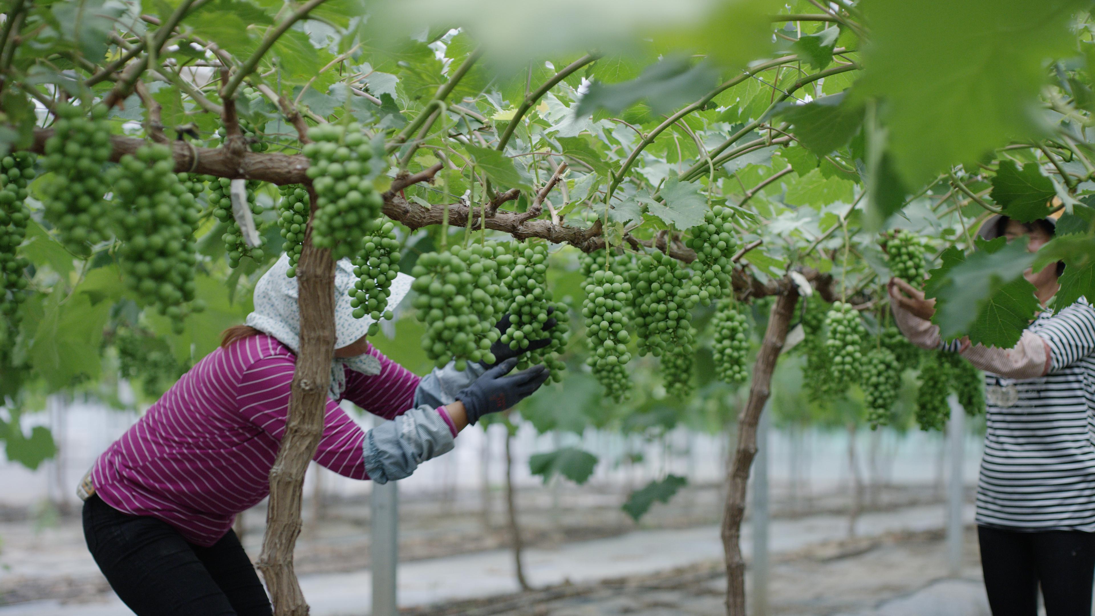 灌南县南房村村民在村里的农业扶贫园打工。