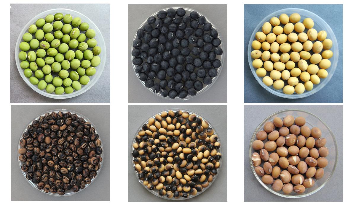 多样的大豆种质资源