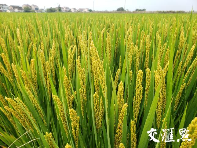 南粳系列水稻