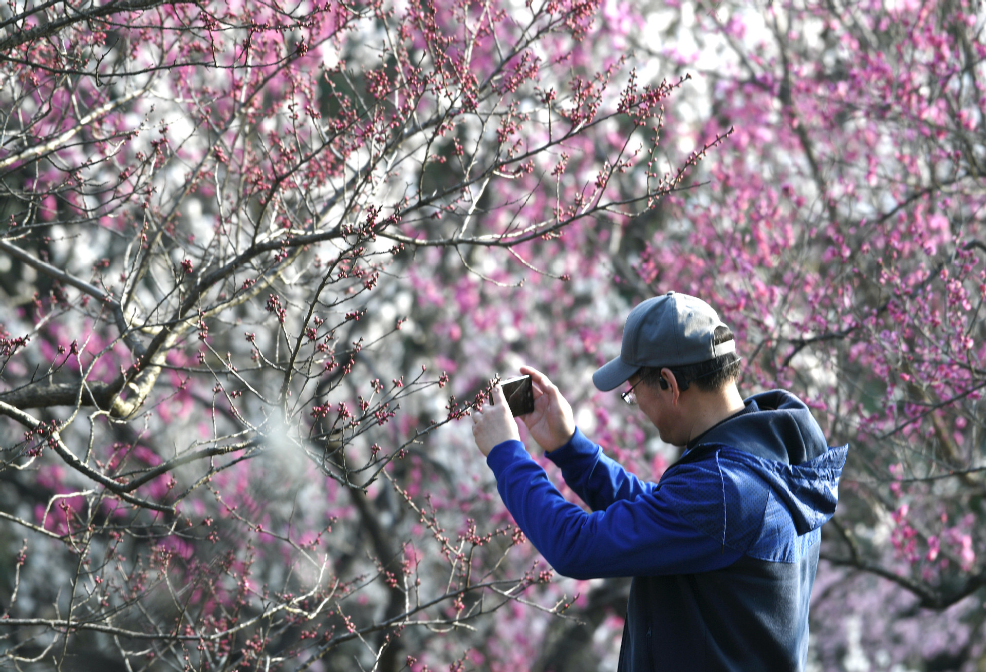 2021年2月16日,南京市,梅花山的数万株梅花进入盛花期,吸引市民和游客前来观赏。 杨素平 摄